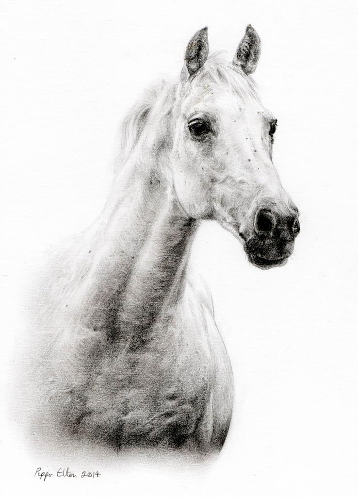 Grey horse portrait in pencil